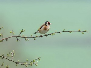 Goldfinch Sitting on the Branch