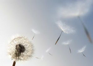 Dandelion Seeds in the Wind
