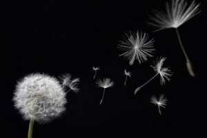 Dandelion With Seed