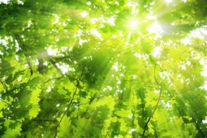 Green Leaves, Bright Sun