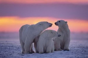 Polar Bear in Sunset.