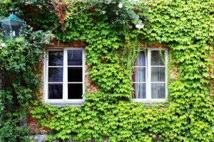 Old House Ivy in Germany
