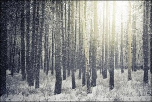 Bright Sunny Pine Forest