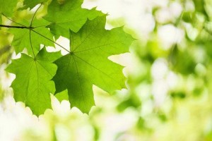 Green Leaves Of A Maple