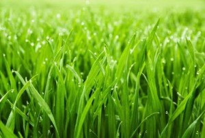 Fresh Grass With Water Drops