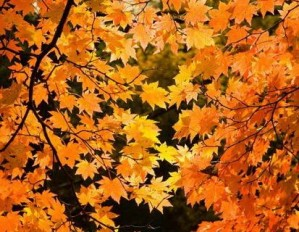 Red Yellow Fall Maple Leafs