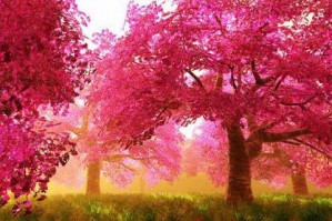 Mysterious Cherry Blossoms